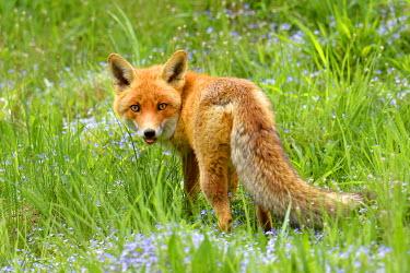 IBXSHU04123892 Red fox (Vulpes vulpes) in a flower meadow, Canton of Zurich, Switzerland