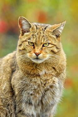 IBXSHU04244350 European wildcat (Felis silvestris silvestris), Canton of Schwyz, Switzerland