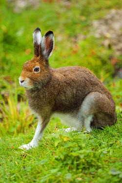 IBXSHU04244364 Arctic hare (Lepus timidus Varronis), moulting, Canton of Schwyz, Switzerland