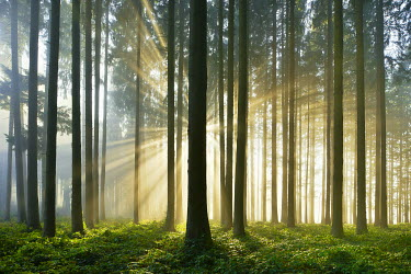 IBXSHU04299571 Spruce forest with sunbeams through mist, Lindenberg, Canton of Aargau, Switzerland