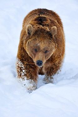 IBXSHU04307797 Syrian brown bear (Ursus arctos syriacus) walking through snow, Canton of Schwyz, Switzerland