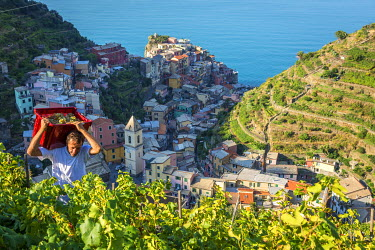 ITA8983AW Italy, Liguria, Cinque Terre. Grape harvest in Manarola