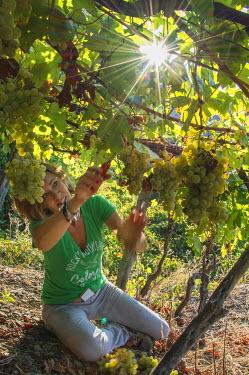 ITA8997AW Europe, italy, Liguria. Grape harvest at Cinque Terre