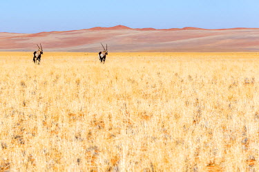 NAM6245AW Africa, Namibia. Two Oryx near the red dunes of the namib desert.
