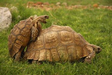 IBXMRA03805784 Turtles (Testudinata) mating, Gobabis, Namibia, Africa