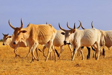 IBXGIV04130177 Cattle walking across the steppe, at Aleg, Brakna region, Mauritania, Africa