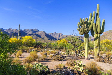 IBXMRA04138082 Cactus landscape with giant mutant Saguaro cactuses (Carnegiea gigantea), mountains behind, Sonoran Desert, Tucson, Arizona, USA, North America