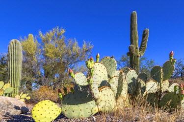 IBXMRA04138113 Cactus landscape with Saguaro cactuses (Carnegiea gigantea) and Engelmann's Prickly Pear Cactus (Opuntia engelmannii), Sonoran Desert, Tucson, Arizona, USA, North America