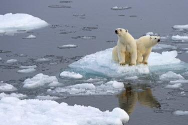 IBXOMK03882141 Polar Bears (Ursus maritimus), female and juvenile on an ice floe in the pack ice, Spitsbergen Island, Svalbard Archipeligo, Svalbard and Jan Mayen, Norway