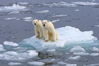 IBXOMK03882157 Polar Bears (Ursus maritimus), female and juvenile on an ice floe in the pack ice, Spitsbergen Island, Svalbard Archipeligo, Svalbard and Jan Mayen, Norway