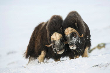 IBXROH04077851 Muskoxen (Ovibos moschatus) in the snow, Dovrefjell?Sunndalsfjella National Park, Norway