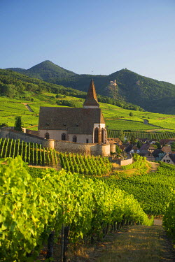 IBXDJS04219943 Church within the vineyards, Gothic fortified church of Saint-Jacques, Hunawihr, Alsace, France