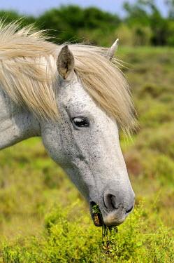IBXGVA01982465 Camargue horse, portrait, Camargue, France