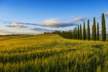 IBXDJS03929973 Cypress avenue, evening light, Val d'Orcia, UNESCO World Heritage Site, near San Quirico d'Orcia, Province of Siena, Tuscany, Italy