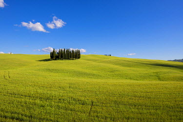 IBXDJS04312477 Cypress trees in cornfield at San Quirico d?Orcia, Val d'Orcia, Tuscany, Italy