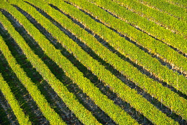 IBXGVA03945381 Vineyard with rows of grape vines, Treiso, Piedmont, Italy