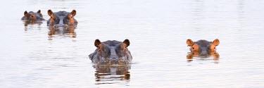 IBXMRA04031903 Hippos (Hippopotamus amphibius) in a water hole, Okavango Delta, Botswana, Africa