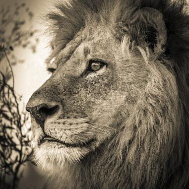 IBXMRA04035538 Male lion (Panthera leo), Okavango Delta, Botswana, Africa