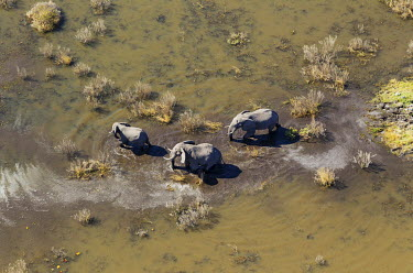 IBXTDR04031803 African Elephants (Loxodonta africana), two cows with calf, roaming in a freshwater marsh, aerial view, Okavango Delta, Botswana, Africa