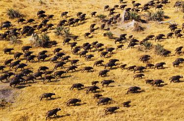 IBXTDR04032005 Cape Buffaloes (Syncerus caffer caffer), roaming herd, Okavango Delta, Botswana, Africa