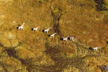 IBXTDR04033653 South African Giraffes (Giraffa camelopardalis giraffa), roaming in freshwater marshland, Okavango Delta, Botswana, Africa