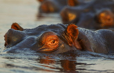 IBXTDR04147732 Hippopotamus (Hippopotamus amphibius) in the water, close-up, in the the Chobe River, Chobe National Park, Botswana, Africa