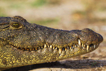 IBXTDR04147899 Nile Crocodile (Crocodylus niloticus), portrait, basking at the bank of the Chobe River, Chobe National Park, Botswana, Africa