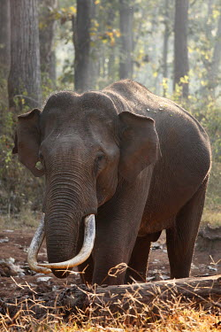 IBXMAN01487757 Asiantic or Indian elephant (Elephas maximus), male, Rajiv Gandhi National Park, Nagarhole National Park, Karnataka, South India, India, South Asia