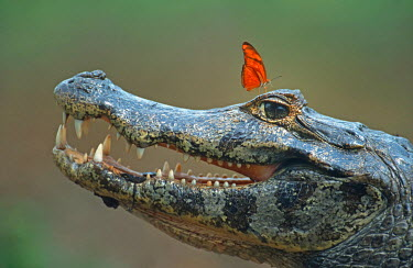 Spectacled Caiman (Caiman crocodilus) with butterfly on it's eye, Pantanal, Brazil, South America