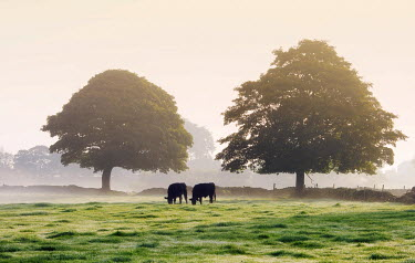 ENG13487AW England, West Yorkshire, Calderdale. Cattle grazing on a misty morning in early autumn.