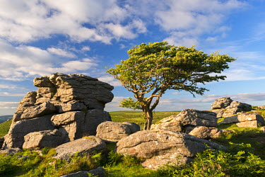 ENG13643AW Windswept hawthorn tree growing among the granite rocks near Saddle Tor, Dartmoor National Park, Devon, England. Summer (July) 2016.