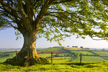 ENG13681AW Rolling countryside and tree on Raddon Hill, Devon, England. Summer (June) 2009