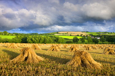 ENG13691AW Harvested corn stacked traditionally in stooks, Coldridge, Mid Devon, England. Summer (July) 2009
