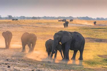 AF05IHO0001 Botswana. Chobe National Park. Mother and baby elephants (Loxodonta africana) kicking up dust.