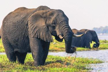AF05IHO0034 Botswana. Chobe National Park. Elephant (Loxodonta africana) grazing on an island in the Chobe River.