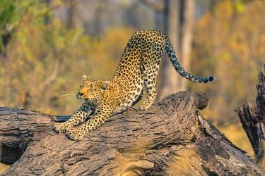 AF05IHO0073 Botswana. Okavango Delta. Khwai concession. Leopard (Panthera pardus) scratches on a fallen log.