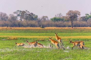 AF05IHO0103 Botswana. Okavango Delta. Khwai concession. Red lechwe (Kobus leche) running through the water.