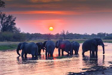 AF05IHO0117 Botswana. Okavango Delta. Khwai concession. Elephant (Loxodonta africana) herd at sunset.