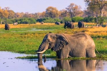 AF05IHO0194 Botswana. Okavango Delta. Khwai concession. Elephant (Loxodonta africana) drinking.