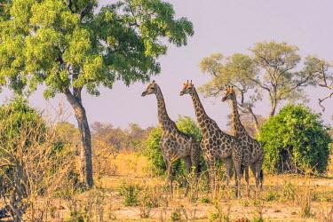 AF05IHO0267 Botswana. Chobe National Park. Savuti. Giraffes intently watching a hidden lion in the bush.
