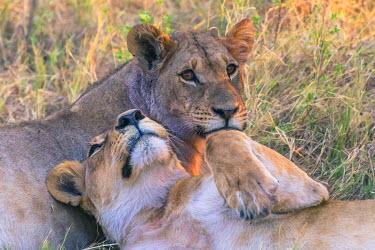 AF05IHO0274 Botswana. Chobe National Park. Savuti. Young lion cubs (Panthera leo) resting.