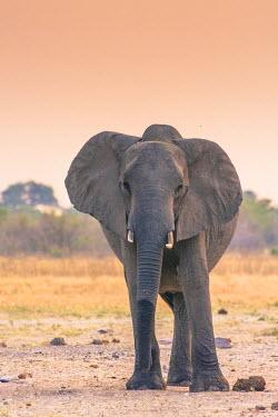 AF05IHO0316 Botswana. Chobe National Park. Savuti. Harvey's Pan. Elephant at a water hole.