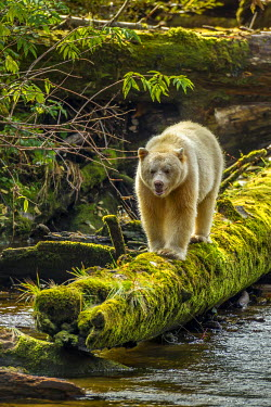 CN02BJY0066 Canada, British Columbia, Inside Passage. White Spirit Bear hunts for fish on Riordan Creek.