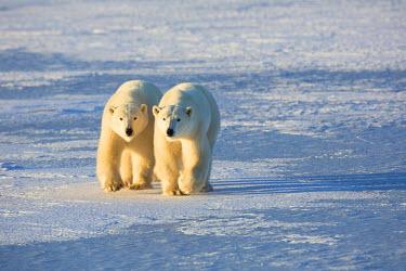 CN03RDY0222 Polar Bears (Ursus maritimus) in Churchill Wildlife Management Area, Churchill, Manitoba, Canada