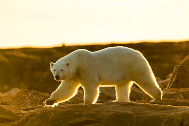 CN15PSO0325 Canada, Nunavut Territory, Setting midnight sun lights Polar Bear (Ursus maritimus) walking along rocky shoreline by Hudson Bay