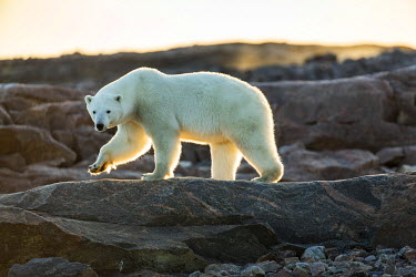 CN15PSO0326 Canada, Nunavut Territory, Setting midnight sun lights Polar Bear (Ursus maritimus) walking along rocky shoreline by Hudson Bay