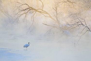 AS15BJY0137 Japan, Hokkaido, Tsurui. Hooded crane walks in river at sunrise.