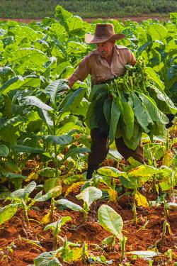 CA11IHO0075 Cuba. Pinar del Rio. Vinales. Farmer harvesting tobacco.