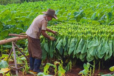CA11IHO0078 Cuba. Pinar del Rio. Vinales. Farmer harvesting tobacco.