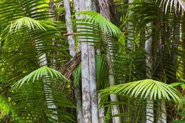 CA43KAR0007 Bamboo Stand, Asa Wright Nature Area, Trinidad, Caribbean